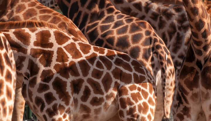 How many gallons of blood does the average giraffe heart pump per minute?