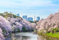 Tokyo Chidorigafuchi Cherry Blossom