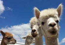Deitrick's Alpaca Ranch