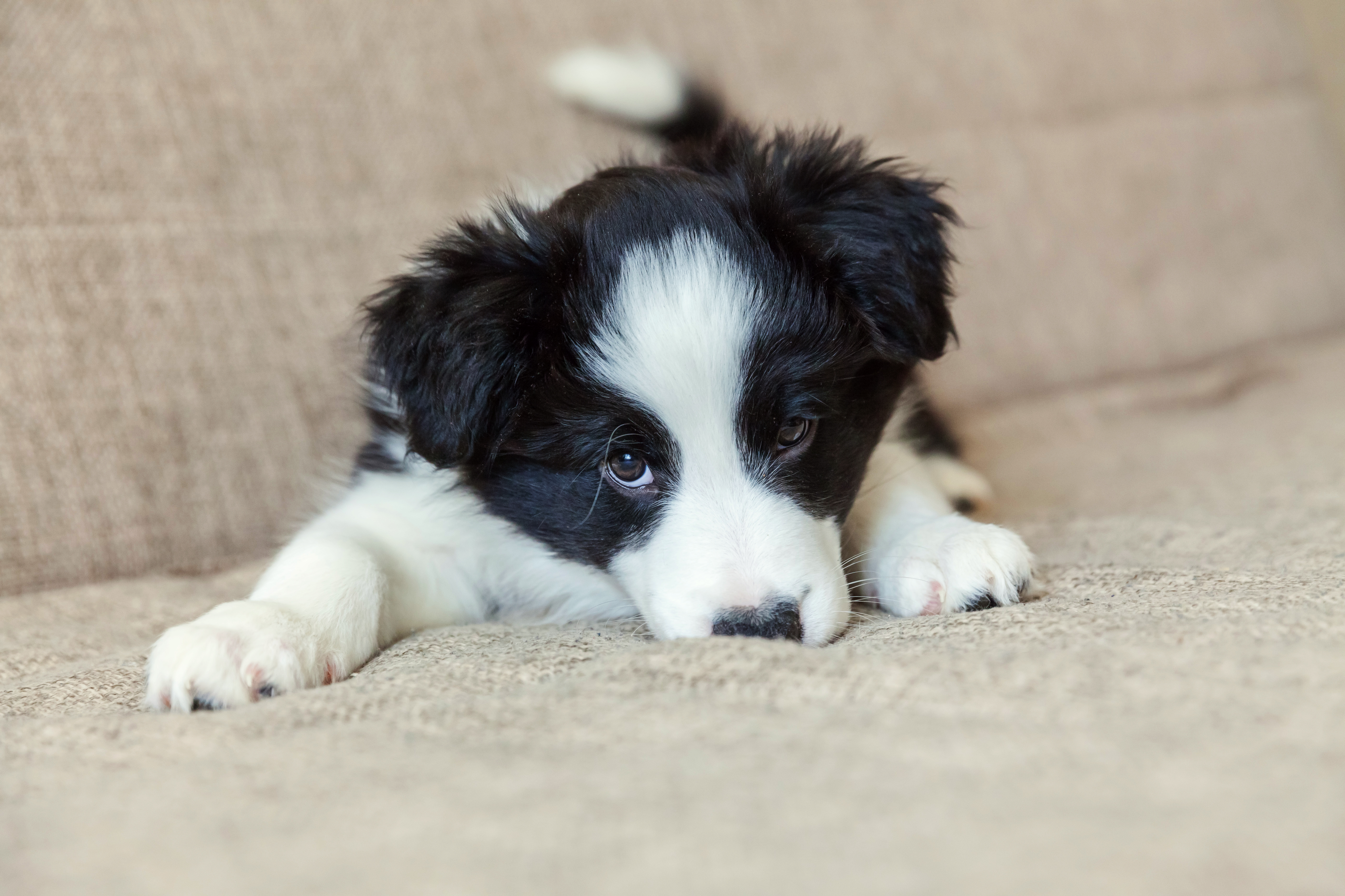 Border collie puppy on couch