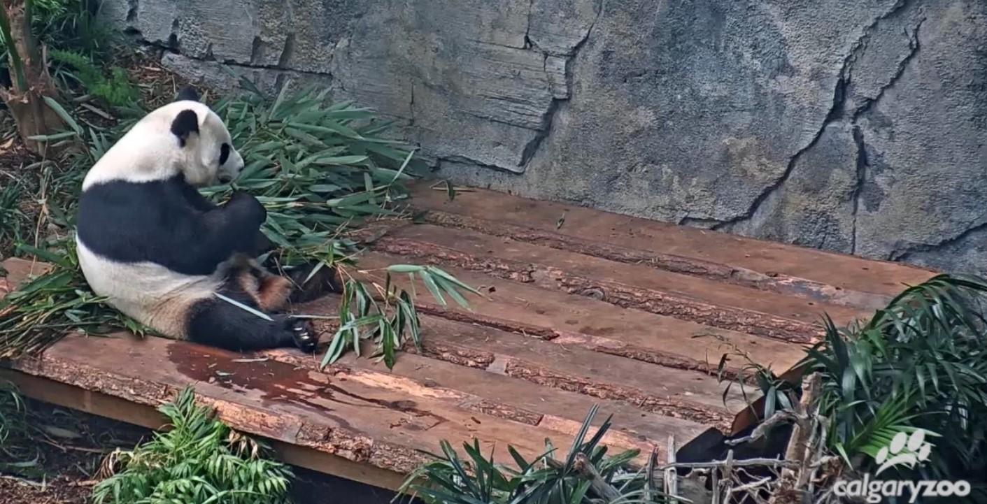 Screenshot of panda eating bamboo from Calgary Zoo live stream