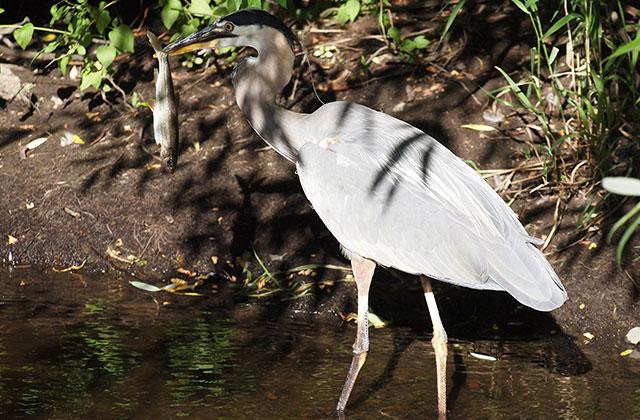 Ariaal Ashlie Heron