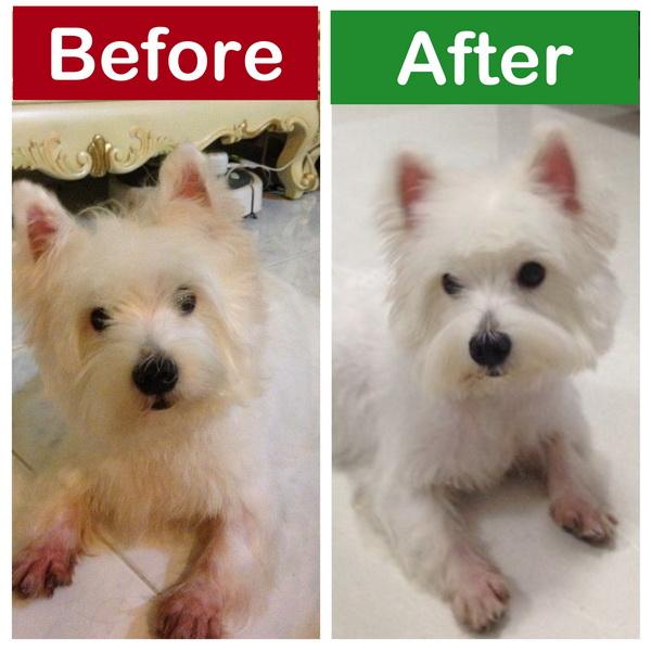 silky dog white. \ silky dog white
