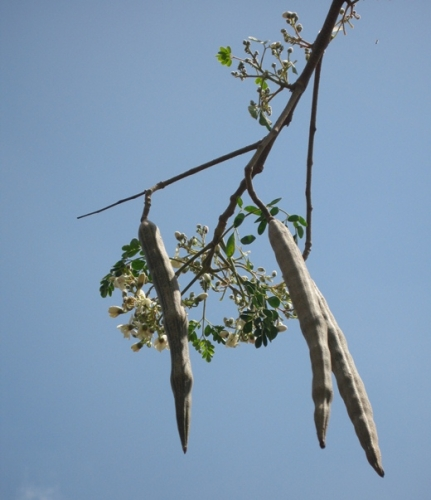 Moringa Fruits (Pods)