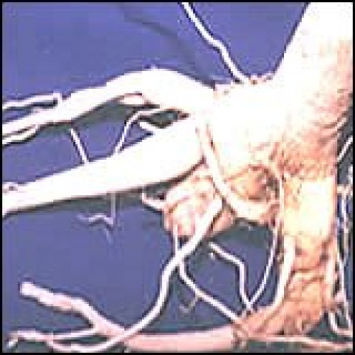 FRESH HAND HARVESTED Moringa Roots PICKED WILD CRAFT ~E.G.PLOTTPALMTREES.COM ~