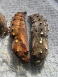 Painted Lady pupae x 5. Pupae ordered now wil be sent spring 2018
