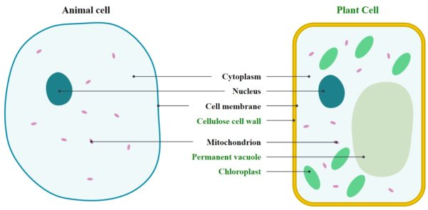 Life science basics for the ged magoosh ged blog magoosh ged blog life science basics for the ged animal and plant cells magoosh ccuart Images