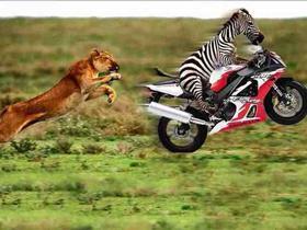 Lion&zebra