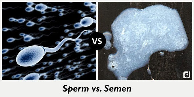 difference between sperm and semen