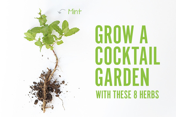 mint plant with title of article