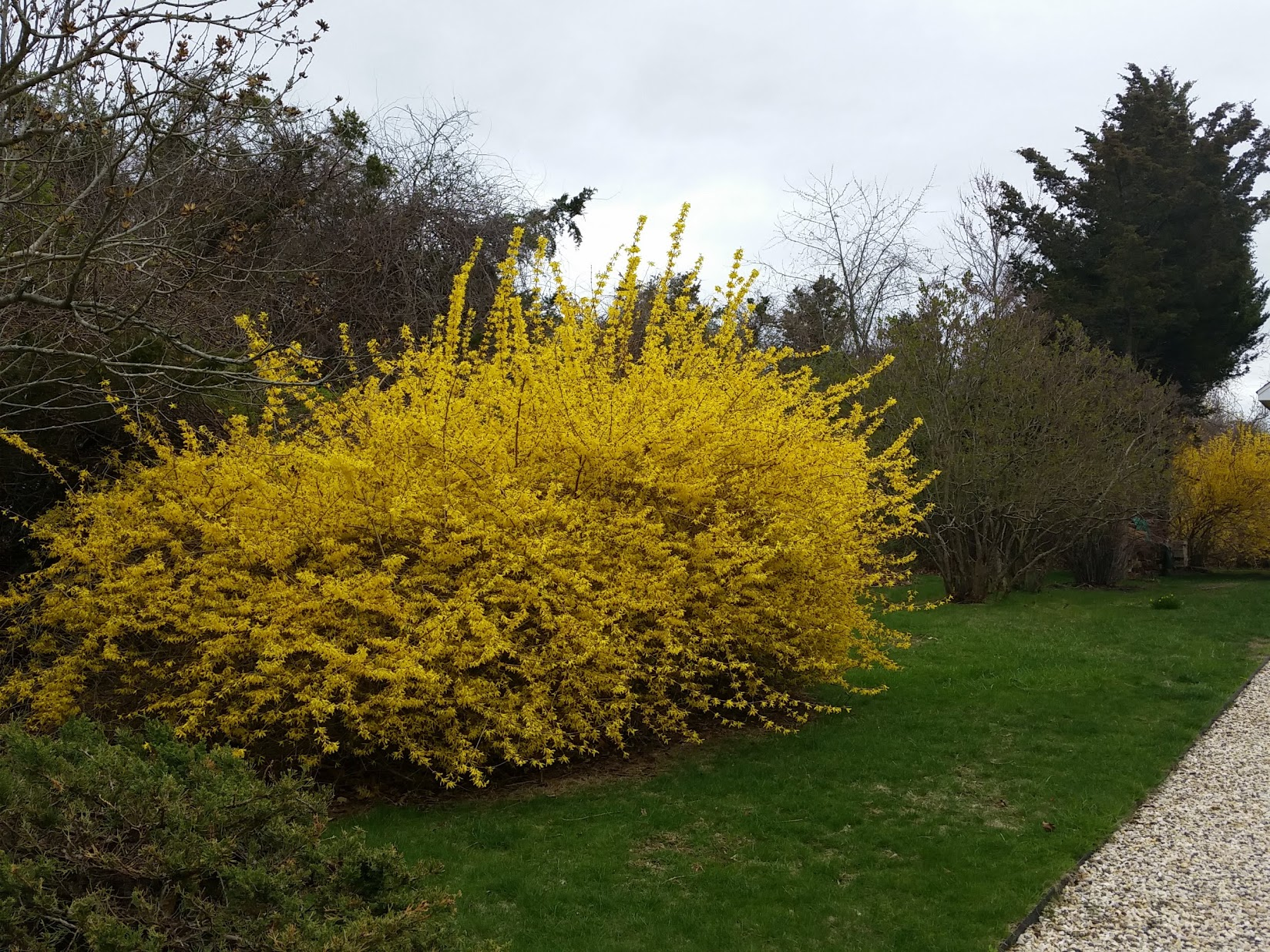 Forsythia in bloom with later-spring lilacs behind, Shelter Island, NY