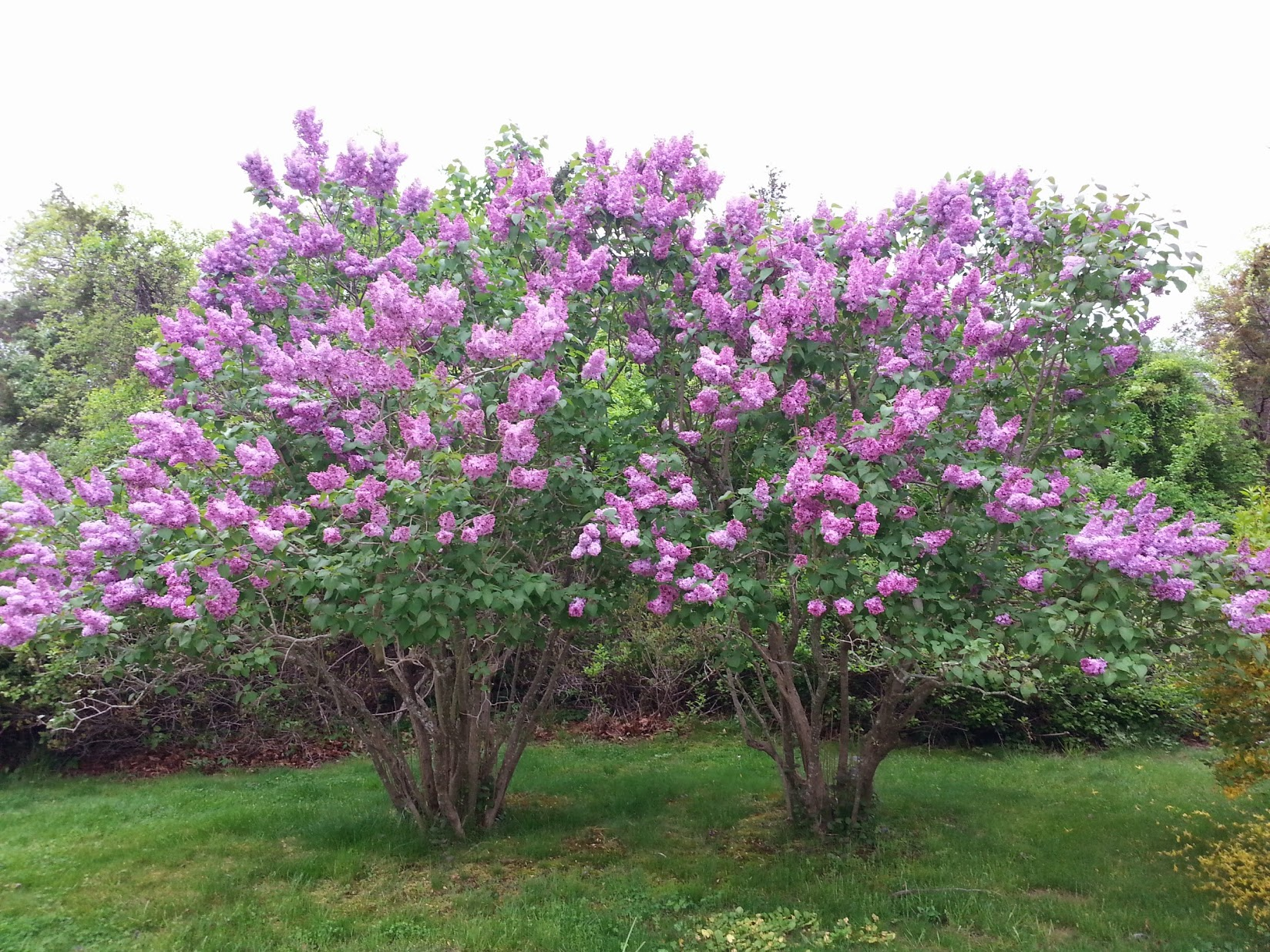 Lilacs in full bloom, Shelter Island, NY