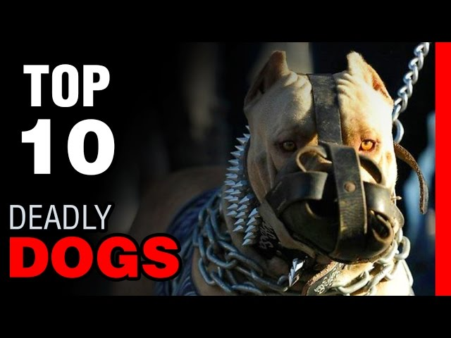 TOP 10 DEADLY DOG BREEDS