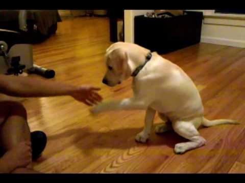 16 week labrador retriever puppy dog training and tricks