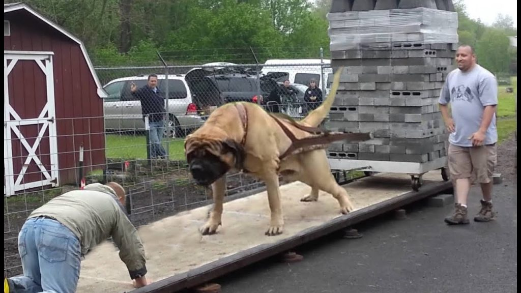 10 Biggest & Strong Dog Breeds