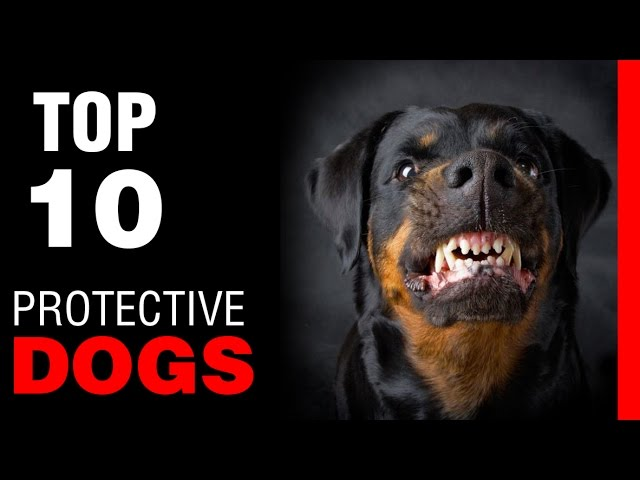 TOP 10 PROTECTIVE DOG BREEDS