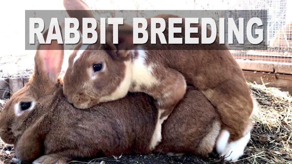 Rabbit Breeding: Shy Buck Syndrome