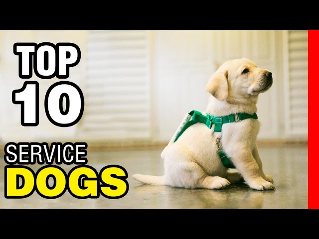 TOP 10 SERVICE DOG BREEDS