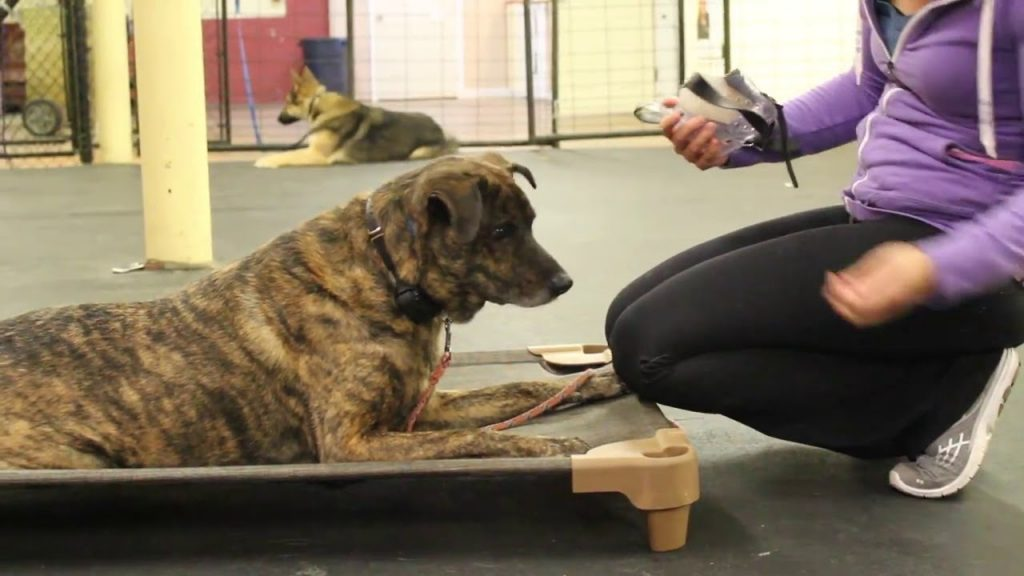 Dog Training | Dog muzzle conditioning skills | Solid K9 Training Dog Training