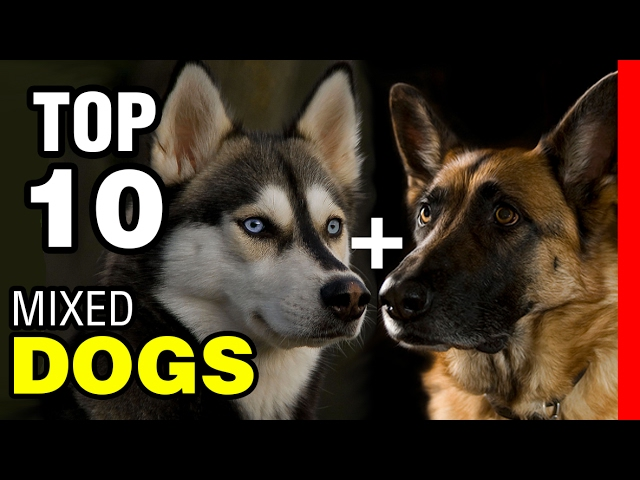 TOP 10 INCREDIBLE MIXED DOG BREEDS