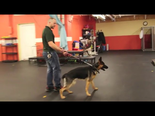 Dog Training | Dog reactivity and pushy behavior | Solid K9 Training Dog Training