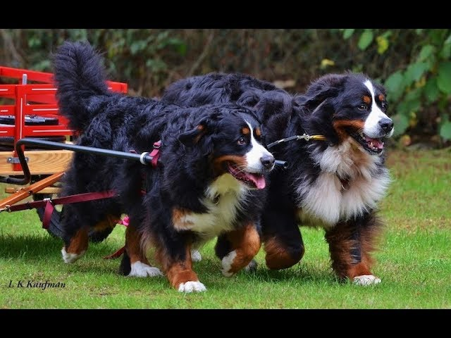 NEW Biggest Dog Breeds in the World