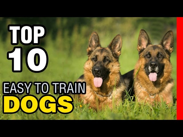 TOP 10 EASY TO TRAIN DOG BREEDS