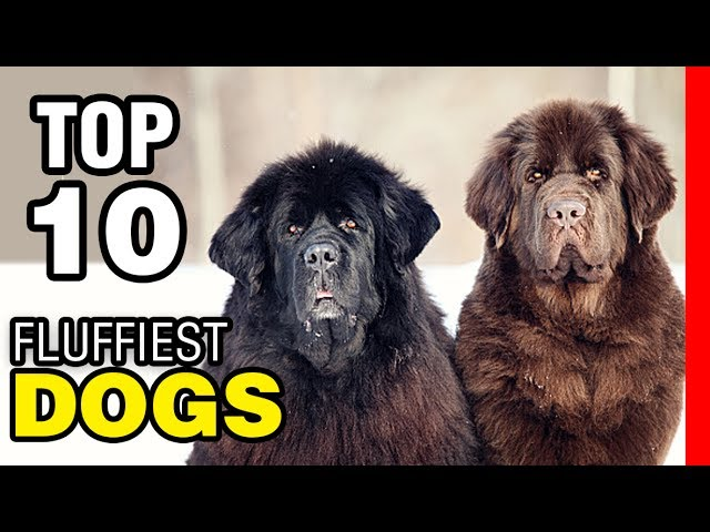 TOP 10 FLUFFIEST DOG BREEDS