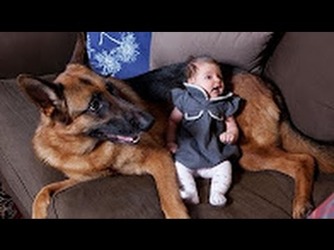 Funny Animals – German Shepherd Dogs Playing with Babies Compilation 2016 – Funny Dogs videos