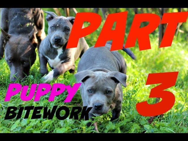 puppy building drive for pit bull bite work rag dog training sport protection
