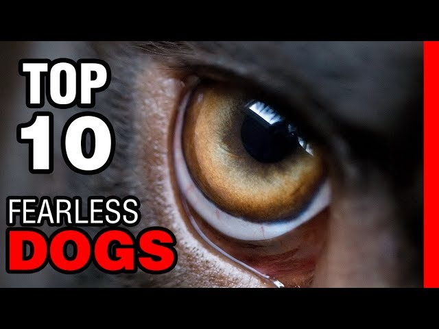 TOP 10 FEARLESS DOG BREEDS