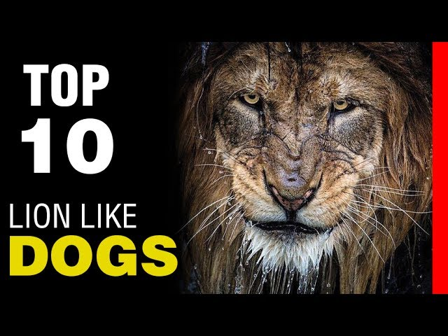 TOP 10 DOG BREEDS THAT LOOK LIKE LION