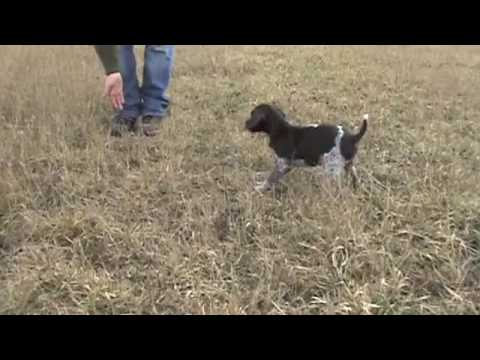Free Hunting Dog Training Videos – Clicker Training with your new Puppy