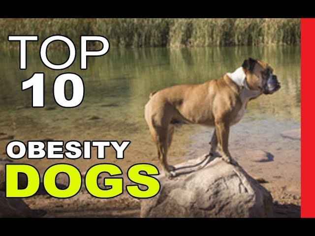 Top Dog Breeds Most Prone to Obesity Part 1