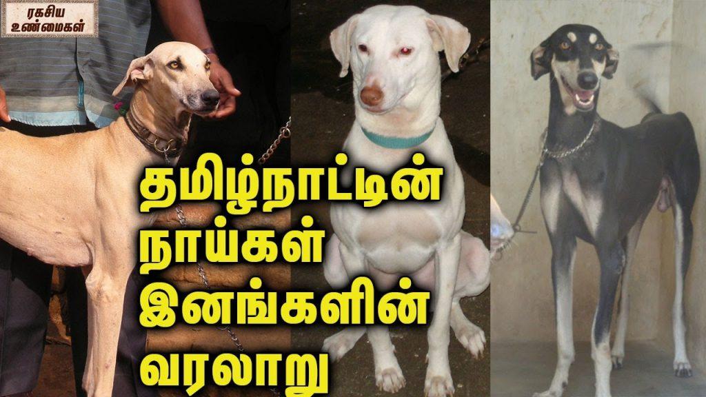 Tamilnadu Dog Breeds  And Its History || தமிழ்நாட்டின் நாய்கள் இனங்களின் வரலாறு