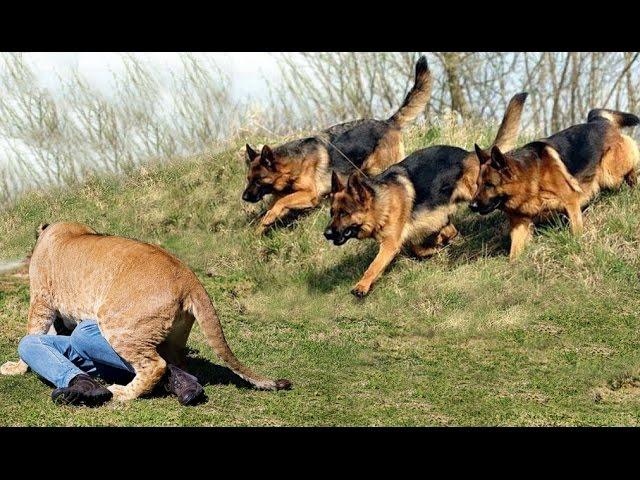 Best Trained & Disciplined German Shepherd Dogs
