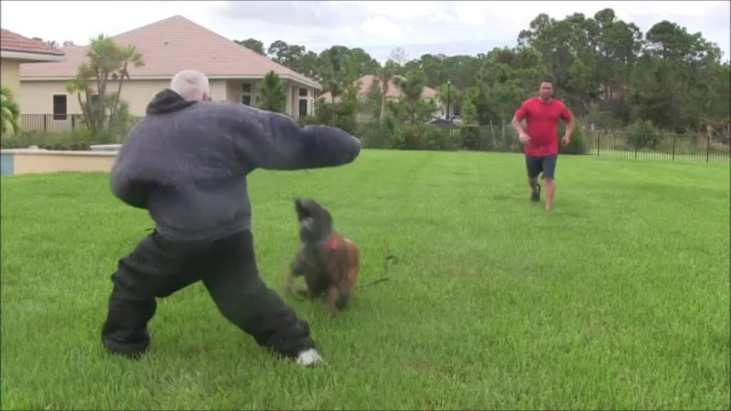 Beginning stages of Bite Suit Work and Control – Protection Dog Training