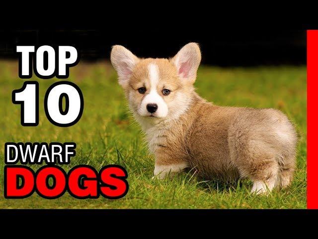 TOP 10 DWARF DOG BREEDS