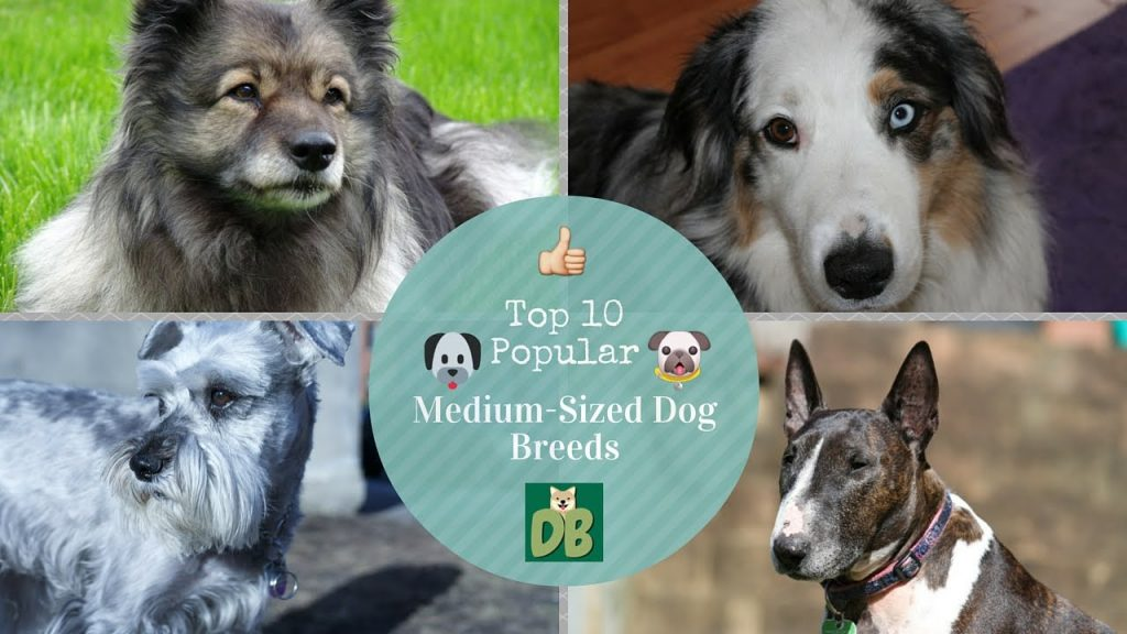 Top 10 Popular Medium-Sized Dog Breeds