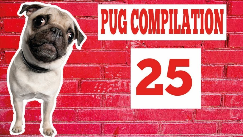 Pug Compilation 25 – Funny Dogs but only Pug Videos | Try Not To Laugh