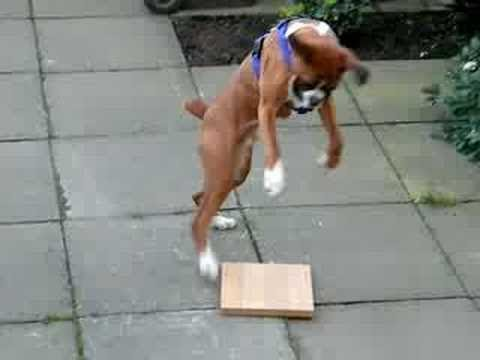 Funny Boxer Dog Video Compilation 2017 – Funny Dogs Videos