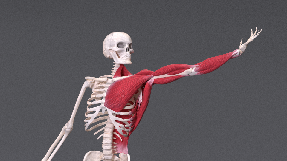 anatomically based human skeleton xms blender marketanatomically