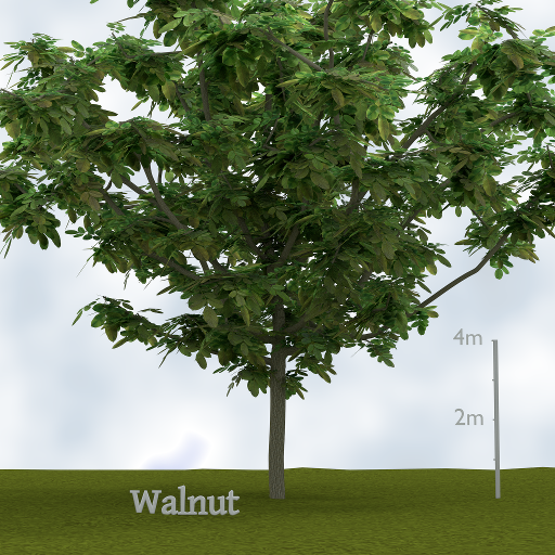 walnut_tree.png