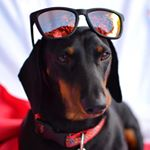 @pintopo_dachshund's Profile Picture
