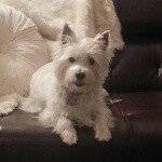 @baileythewestie_'s Profile Picture