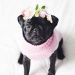 @botheblackpug's Profile Picture