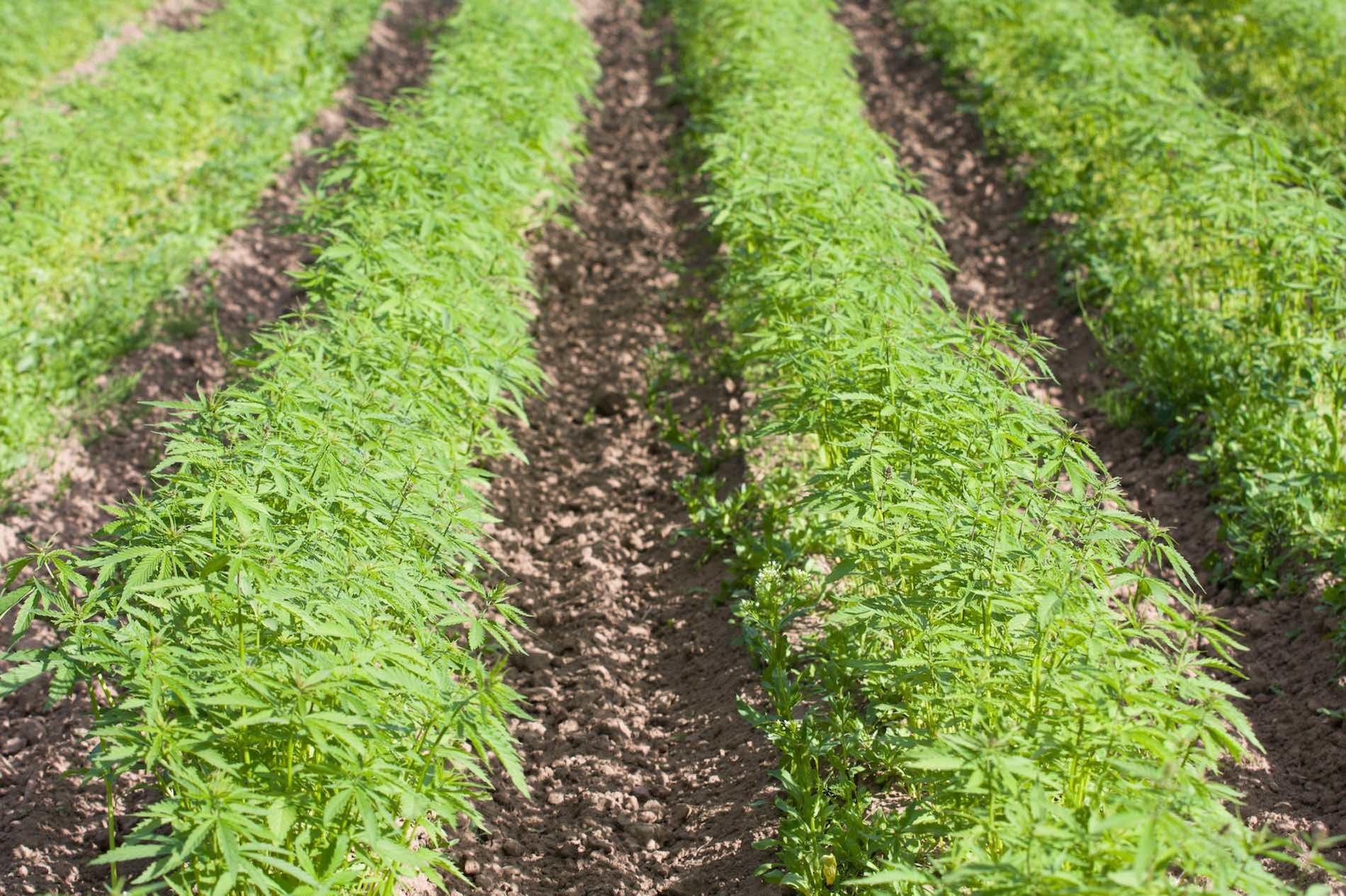 Field of cannabis sativa l hemp
