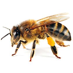 bee-with-pollen