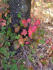 fall poison oak