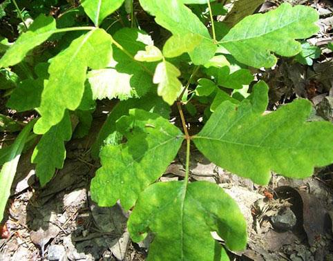 spring poison oak
